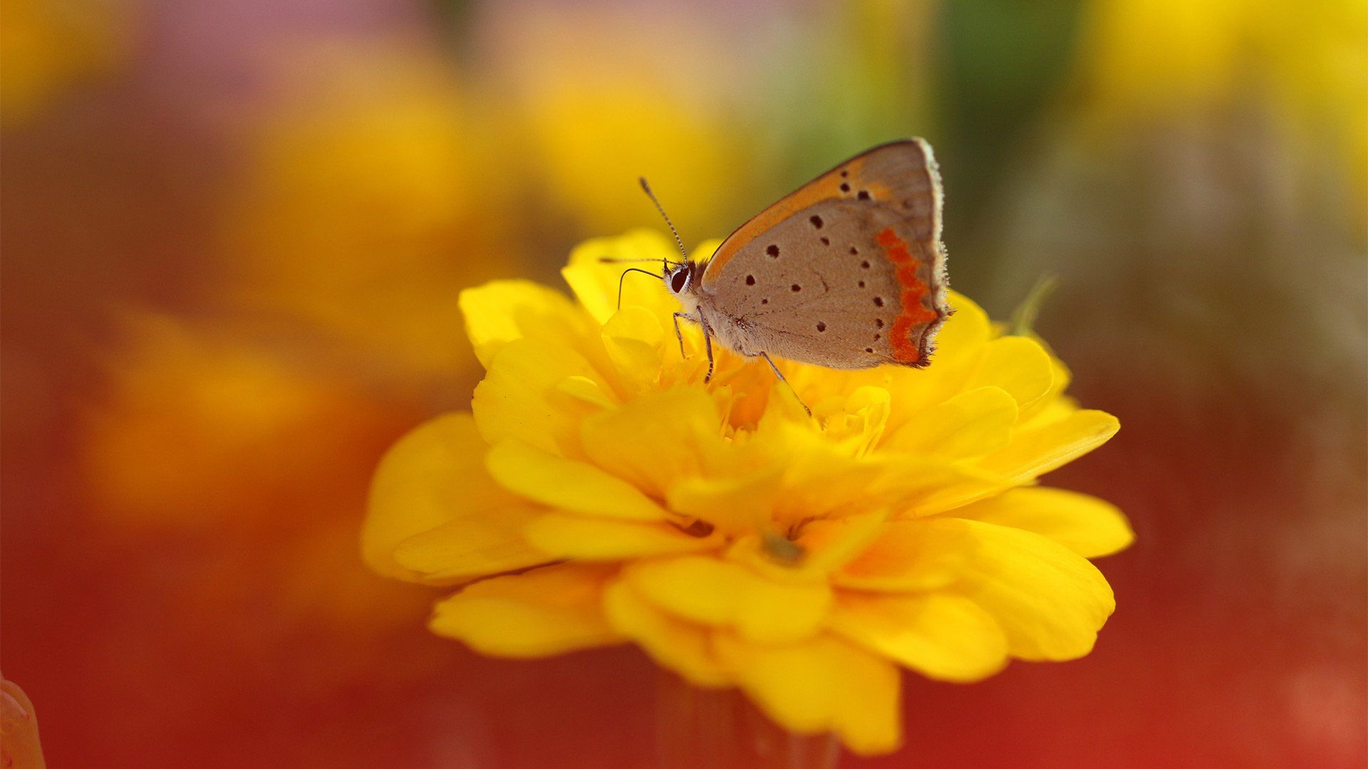 A close-up of a butterfly on a yellow flower, with the background blurred.